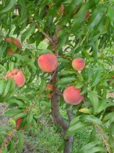 Wind Ridge Peaches