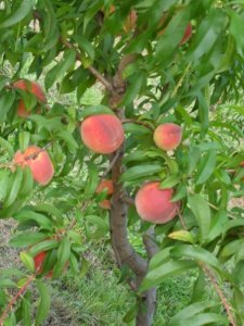 Wind Ridge Peaches